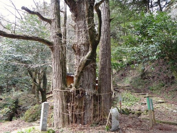 12 巨木も.JPG