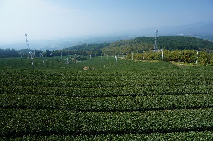17 貴重な阿蘇エリアの茶畑.JPG