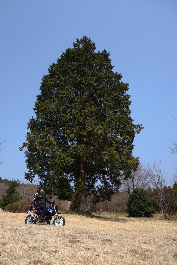 20 響の1本杉.JPG