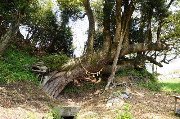 25 巨木です.JPG