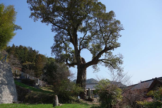 31 民家の裏に普通に巨木がある風景.JPG