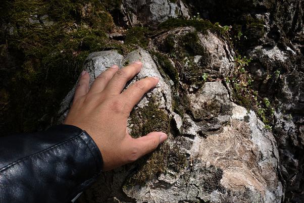 32 モコモコした木の肌が凄い.JPG