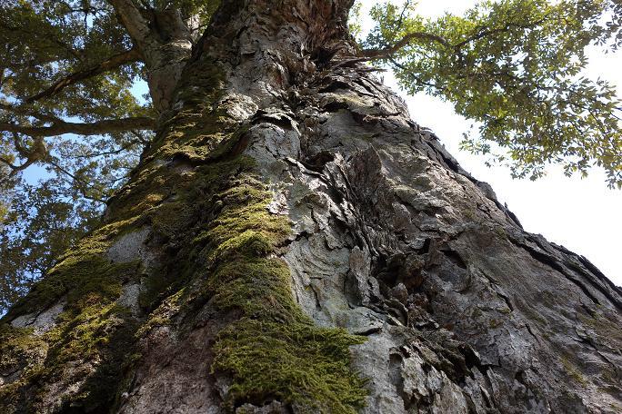 33 イチイガシの巨木は少ない.JPG