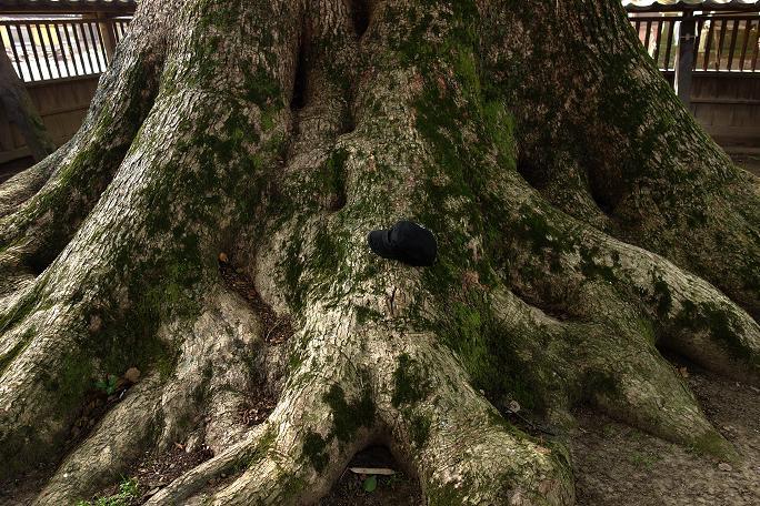 35 まだ洞が空いてない巨木候補の楠です.JPG