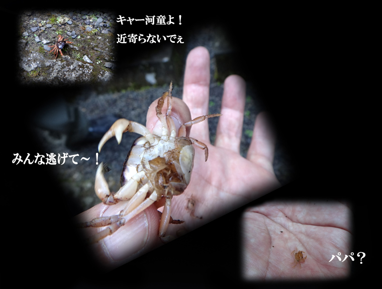 4 サワガニ.JPG