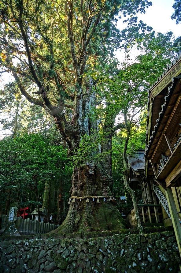6 これが大なんとか神社の大杉だ.JPG