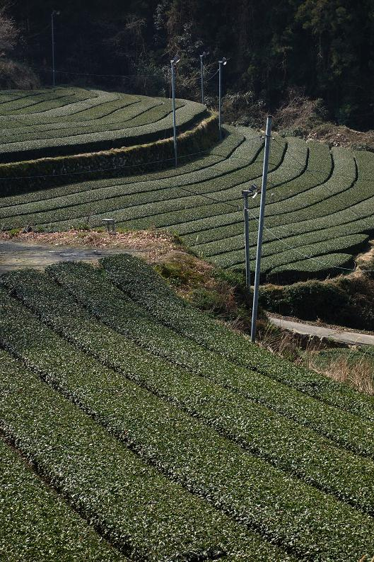 6 響は茶畑好きらしいです.JPG