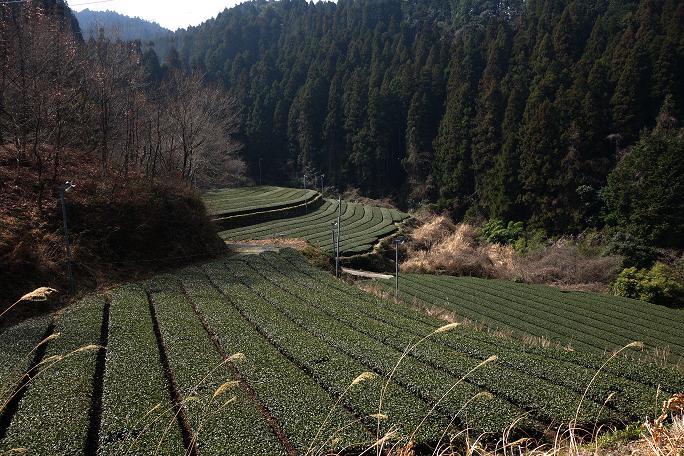 7 山のなかの茶畑.JPG