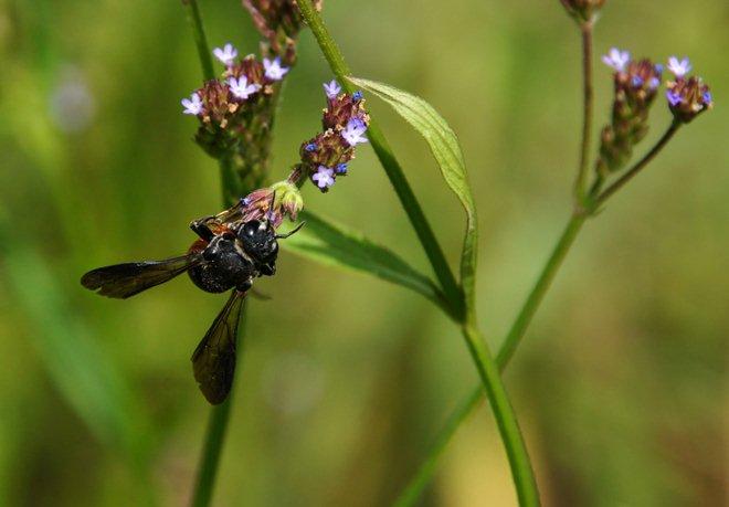 ハチに人気のアレチハナガサ.JPG