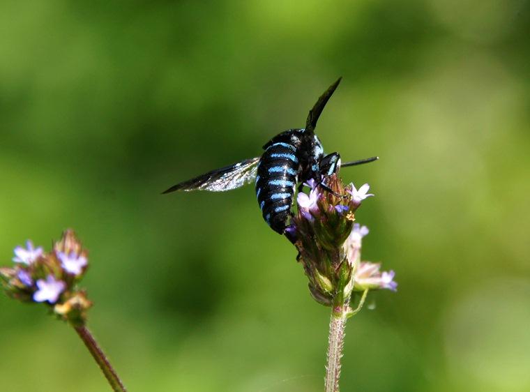 幸せの青い蜂.JPG