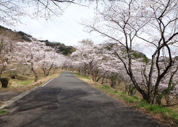 桜の峠道.JPG