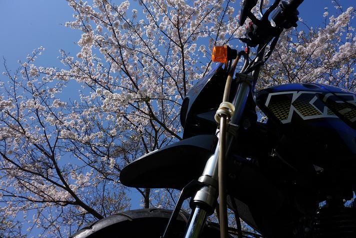 桜はおなかいっぱいだけど名残の1枚.JPG