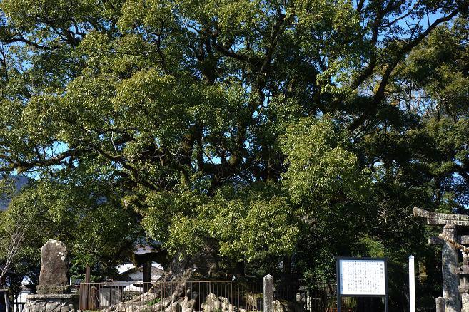 2 巨木ですよ~.JPG