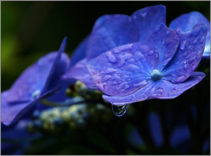雨上がりのアジサイ.JPG